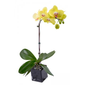 The Sweet Orchid